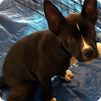 Adopt A Pet :: Onyx - Buena Park, CA