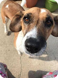 Corgi/Beagle Mix Dog for adoption in Columbus, Ohio - Belle