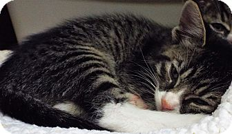 Domestic Shorthair Kitten for adoption in Grants Pass, Oregon - Twinky