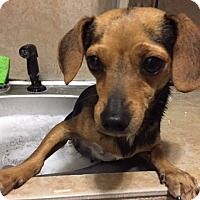 Adopt A Pet :: Lulu - Studio City, CA