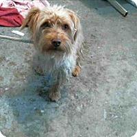 Adopt A Pet :: Scout - Encino, CA