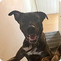 German Shepherd Dog Mix Dog for adoption in Las Vegas, Nevada - Stitch