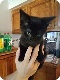 Domestic Shorthair Kitten for adoption in Chino Hills, California - Reisling - In Foster