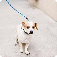 Adopt A Pet :: Speed - in Foster Care - Chino Hills, CA