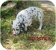 Dalmatian Puppy for adoption in League City, Texas - Booster