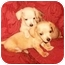 Photo 1 - Chihuahua/Dachshund Mix Puppy for adoption in Cairo, Georgia - Pups 1-2