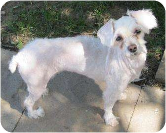 Maltese/Poodle (Miniature) Mix Dog for adoption in Old Bridge, New Jersey - Vanna