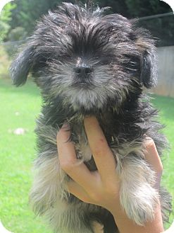 Brussels Griffon/Chinese Crested Mix Puppy for adoption in Newark, Delaware - Karma