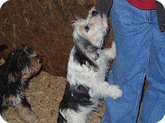 Terrier (Unknown Type, Medium)/Schnauzer (Miniature) Mix Puppy for adoption in Syacuse, New York - Huey