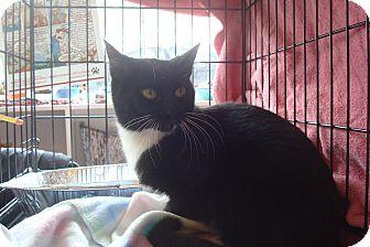 Domestic Shorthair Kitten for adoption in Brooklyn, New York - Tallulah