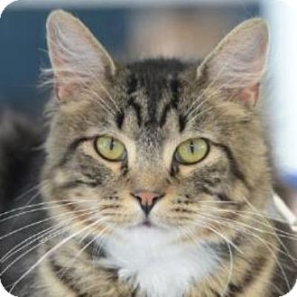 Domestic Mediumhair Cat for adoption in Denver, Colorado - Chatterbox