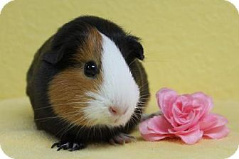 Guinea Pig for adoption in Benbrook, Texas - Buttercup