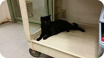 American Shorthair Cat for adoption in Indianola, Iowa - Romeo