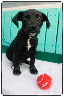 Labrador Retriever Mix Puppy for adoption in Freeport, New York - Kingsley