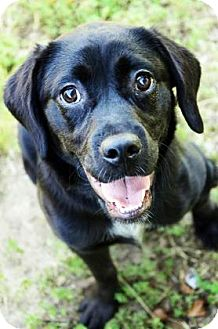 Labrador Retriever/Newfoundland Mix Dog for adoption in Fort Smith, Arkansas - Miley