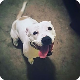 English Bulldog/Staffordshire Bull Terrier Mix Dog for adoption in Eden Prairie, Minnesota - Courtney