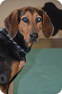 Black and Tan Coonhound Mix Dog for adoption in Cincinnati, Ohio - Farrah: Norwood