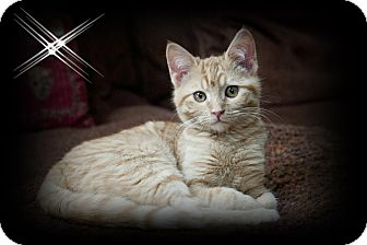 Domestic Shorthair Kitten for adoption in Mt. Prospect, Illinois - Maz