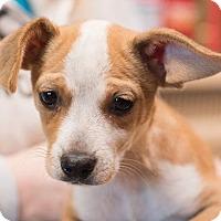 Adopt A Pet :: Trixie - Minneapolis, MN