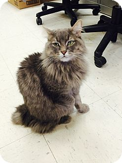 Domestic Longhair Cat for adoption in Oakland, New Jersey - Lillian