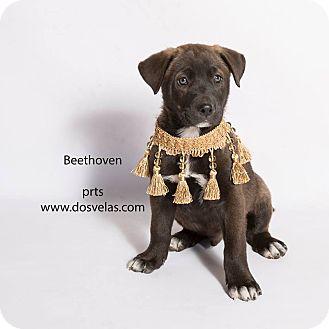 Labrador Retriever Mix Puppy for adoption in Riverside, California - Beethoven