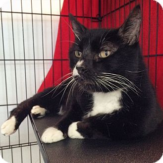 Domestic Shorthair Cat for adoption in Portland, Oregon - Raja Maurice