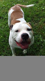 American Bulldog Dog for adoption in Alexandria, Kentucky - Roxy