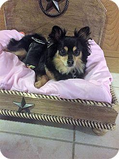 Pomeranian Dog for adoption in conroe, Texas - Magnum