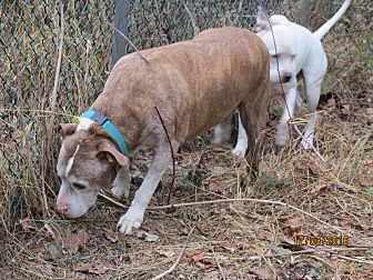 American Bulldog/American Pit Bull Terrier Mix Dog for adoption in Wapwallopen, Pennsylvania - Buster - 15