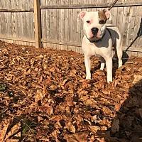 Adopt A Pet :: Cognac - Poughkeepsie, NY