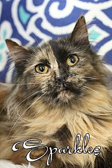 Domestic Shorthair Cat for adoption in Knoxville, Tennessee - Sparkles Female
