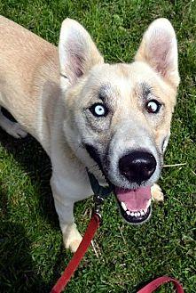 Husky Dog for adoption in Lacon, Illinois - Farah