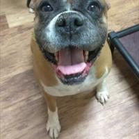 Boxer Mix Dog for adoption in Tulsa, Oklahoma - Osa Odom