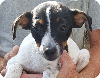 Jack Russell Terrier Mix Puppy for adoption in Colonial Heights, Virginia - Jack