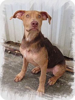 Vizsla/Weimaraner Mix Puppy for adoption in Conroe, Texas - Murphy