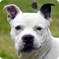 American Pit Bull Terrier Mix Dog for adoption in New Haven, Connecticut - POP