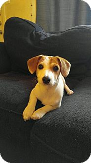 Jack Russell Terrier/Dachshund Mix Puppy for adoption in Spring, Texas - Louise