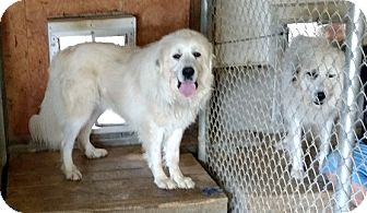 Great Pyrenees Dog for adoption in Lee, Massachusetts - Sampson - in NY