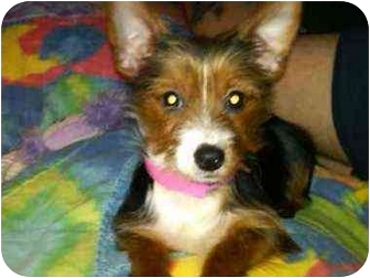 Fox Terrier (Toy)/Yorkie, Yorkshire Terrier Mix Puppy for adoption in North Benton, Ohio - Pookie (pending)