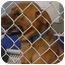 Photo 2 - Labrador Retriever/German Shepherd Dog Mix Puppy for adoption in Arlington, Virginia - Amber