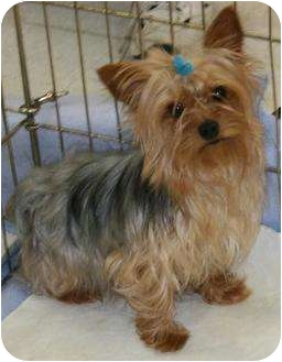 Yorkie, Yorkshire Terrier Dog for adoption in House Springs, Missouri - Griffin