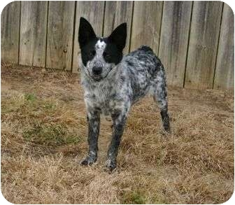 Australian Cattle Dog Dog for adoption in Muldrow, Oklahoma - Roxanne