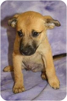 Terrier (Unknown Type, Small)/Shiba Inu Mix Puppy for adoption in Broomfield, Colorado - Dumbledore