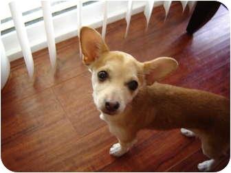 Chihuahua/Dachshund Mix Puppy for adoption in San Marcos, California - Mandy