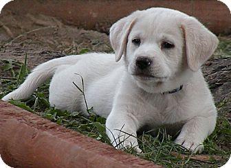 Labrador Retriever/Spaniel (Unknown Type) Mix Puppy for adoption in Belvidere, Illinois - Watson *FOSTERED*