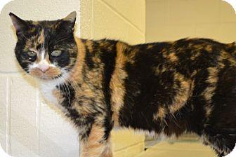 Domestic Shorthair Cat for adoption in Elyria, Ohio - Coco