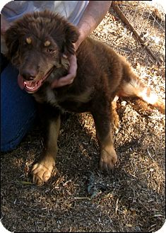 Labrador Retriever/Australian Shepherd Mix Dog for adoption in Colville, Washington - Java