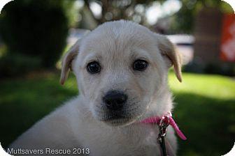 Labrador Retriever/Retriever (Unknown Type) Mix Puppy for adoption in Broomfield, Colorado - Pitter