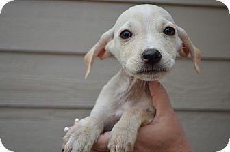 Golden Retriever/Labrador Retriever Mix Puppy for adoption in Westminster, Colorado - Abe