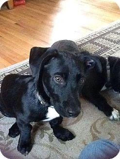 Labrador Retriever/Basset Hound Mix Puppy for adoption in Wappingers, New York - Crockett